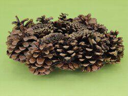 Kruh šiškový lakovaný 20cm - velkoobchod, dovoz květin, řezané květiny Brno