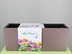 V OBAL BALCONERA/50 COLOR KAPUČÍNO (muškátový oříšek) - velkoobchod, dovoz květin, řezané květiny Brno