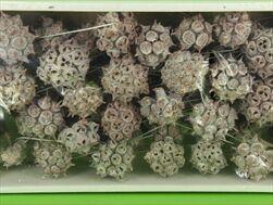 SU Spidergum na drátku Frosted Starorůžový 55ks - velkoobchod, dovoz květin, řezané květiny Brno