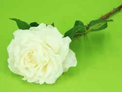 Uk Rose X1/60cm cream - velkoobchod, dovoz květin, řezané květiny Brno