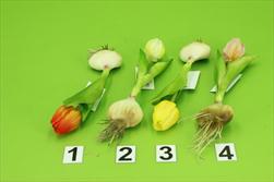 Uk Tulipán s cibulkou 17cm mix barev - velkoobchod, dovoz květin, řezané květiny Brno