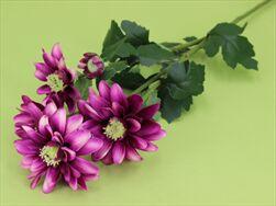 Uk chryzantéma X5 72cm - velkoobchod, dovoz květin, řezané květiny Brno