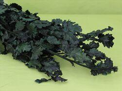 SU Quercus 250g green - velkoobchod, dovoz květin, řezané květiny Brno