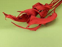 Su strelicie list X7 red soft - velkoobchod, dovoz květin, řezané květiny Brno