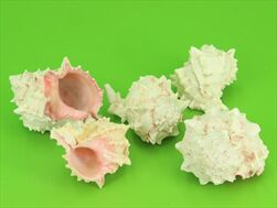 Mušle Murex piccolo 5ks - velkoobchod, dovoz květin, řezané květiny Brno