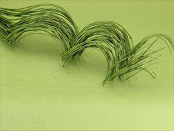 Sušina proutí kroucené 60cm zelená - velkoobchod, dovoz květin, řezané květiny Brno