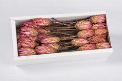 REPENS FLOWER PINK TRAY (50PC) - velkoobchod, dovoz květin, řezané květiny Brno