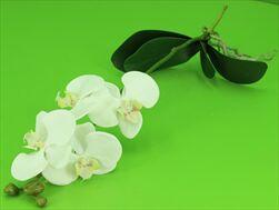 UK PHALENOPSIS WHITE PLANT 60CM - velkoobchod, dovoz květin, řezané květiny Brno