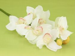 Uk cymbidium cream 68cm - velkoobchod, dovoz květin, řezané květiny Brno