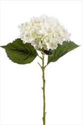 Uk Hydrangea Annabelle 52cm cream - velkoobchod, dovoz květin, řezané květiny Brno