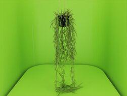 Uk Hoya in pot 80cm - velkoobchod, dovoz květin, řezané květiny Brno