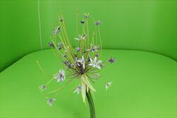 Uk Allium fialové 105cm - velkoobchod, dovoz květin, řezané květiny Brno
