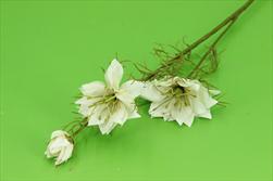 Uk Nigella cream 58cm - velkoobchod, dovoz květin, řezané květiny Brno