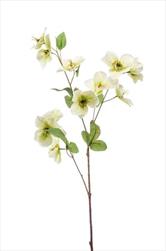 Uk Helleborus 68cm white/green - velkoobchod, dovoz květin, řezané květiny Brno