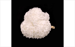 Sk Hortensia premium white - velkoobchod, dovoz květin, řezané květiny Brno