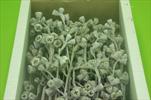 Su Eukalyptus plod větev Přírodní bělený 50ks - velkoobchod, dovoz květin, řezané květiny Brno