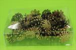 Su šišky borovice natur 0,24kg - velkoobchod, dovoz květin, řezané květiny Brno