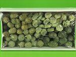 SU Leucadendron Plody na drátku Frosted Zelené 100ks - velkoobchod, dovoz květin, řezané květiny Brno