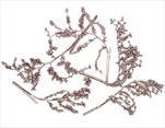 SU Canella Stříbrno-růžová 25ks - velkoobchod, dovoz květin, řezané květiny Brno