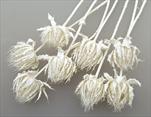 Dryandra Bělená 80ks - velkoobchod, dovoz květin, řezané květiny Brno