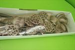 Su sušina mix 40ks antikrosa - velkoobchod, dovoz květin, řezané květiny Brno