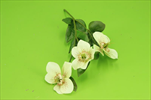 Uk Čemeřice X3/36cm - velkoobchod, dovoz květin, řezané květiny Brno