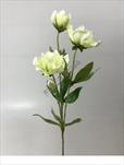 Uk čemeřice 55cm - velkoobchod, dovoz květin, řezané květiny Brno