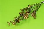 Uk Wax 78cm měděný - velkoobchod, dovoz květin, řezané květiny Brno