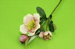 Uk čemeřice X3/45cm - velkoobchod, dovoz květin, řezané květiny Brno