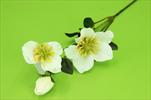 Uk čemeřice 70cm - velkoobchod, dovoz květin, řezané květiny Brno