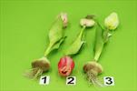 Uk Tulipán s cibulkou 25cm mix barev - velkoobchod, dovoz květin, řezané květiny Brno