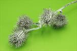Uk bodlák vánoční 62cm - velkoobchod, dovoz květin, řezané květiny Brno