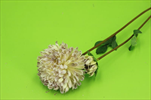 Uk chrysantéma 63cm růžová - velkoobchod, dovoz květin, řezané květiny Brno