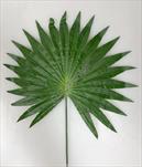 Uk list palma 47cm - velkoobchod, dovoz květin, řezané květiny Brno