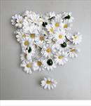 Uk květ kopretina 5cm - velkoobchod, dovoz květin, řezané květiny Brno