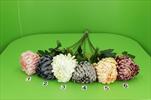 Uk chryzantéma koule lux - velkoobchod, dovoz květin, řezané květiny Brno