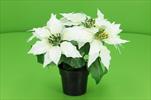 Uk Poinsettia v obalu bílá - velkoobchod, dovoz květin, řezané květiny Brno