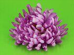 Uk chryzantéma květ jehlice světle fialová - velkoobchod, dovoz květin, řezané květiny Brno