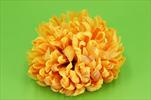 Uk Květ chryzantéma yel. - velkoobchod, dovoz květin, řezané květiny Brno