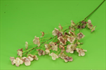 Uk Hortenzie 96cm - velkoobchod, dovoz květin, řezané květiny Brno
