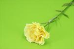 Uk Karafiát X1 68cm - velkoobchod, dovoz květin, řezané květiny Brno