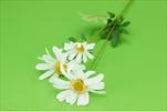 Uk kopretina větev - velkoobchod, dovoz květin, řezané květiny Brno