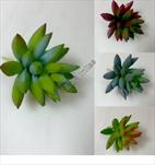 Uk sukulent Star 10cm - velkoobchod, dovoz květin, řezané květiny Brno