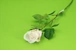 Uk růže poupě 60cm - velkoobchod, dovoz květin, řezané květiny Brno