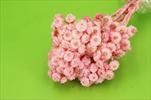 Su Immortelle X20g red - velkoobchod, dovoz květin, řezané květiny Brno