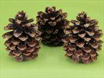 SU pigne grandi X3 natural - velkoobchod, dovoz květin, řezané květiny Brno