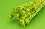 Su Nigella x100g pastel green - velkoobchod, dovoz květin, řezané květiny Brno