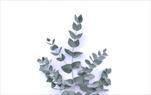 Sk Eucalyptus cinerea 40/80 - velkoobchod, dovoz květin, řezané květiny Brno