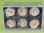 Sk Hlavy růže extra champagne 6pcs - velkoobchod, dovoz květin, řezané květiny Brno