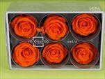 Sk Hlavy růže extra orange 6pcs - velkoobchod, dovoz květin, řezané květiny Brno